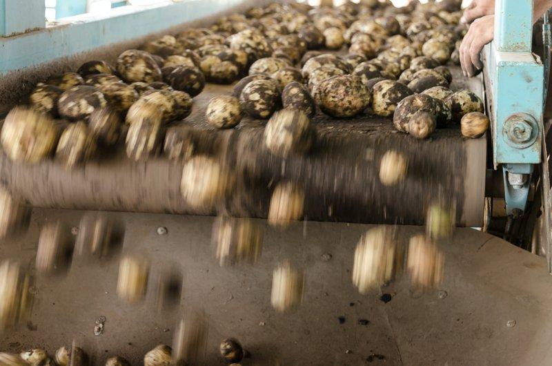 Cyber-Angriffe in der Lebensmittelindustrie. Kartoffeln auf einem Fließband.